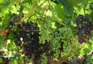 Vinná réva | Vitis vinifera