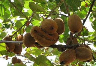 Kiwi,Aktinídie čínská | Čínský angrešt | Actinidia chinensis