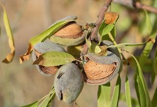 Mandloň obecná,Mandlovník | Prunus dulcis,Prunus amygdalus