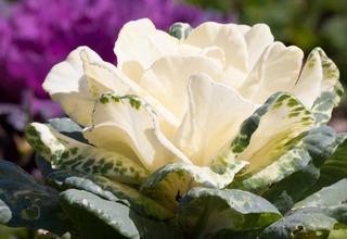 Okrasné zelí,Okrasná kapustička   Brassica oleracea