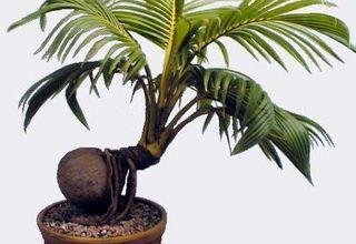 Kokosovník ořechoplodý | Cocos nucifera