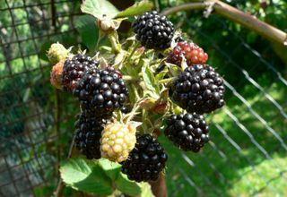 Ostružiník křovitý | Rubus fruticosus