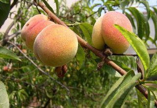 Broskvoň | Prunus persica