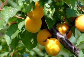 Meruňka | Prunus armeniaca