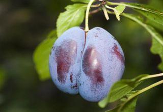 Slivoň | Švestka | Prunus domestica