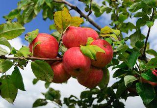 Jabloň domácí | Malus domestica