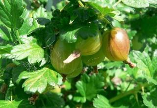 Angrešt | Grossularia uva crispa
