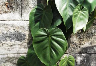 Filodendron | Philodendron