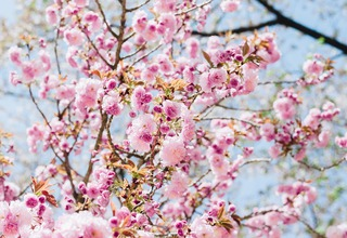 Třešeň pilovitá,Sakura ozdobná | Prunus serrulata,Cerasus serrulata
