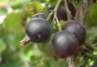 Josta | Ribes nidigrolaria
