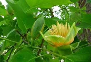 Liliovník tulipánokvětý | Liriodendron tulipifera