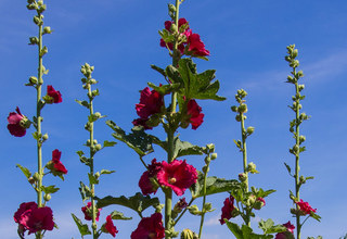 Topolovka růžová | Alcea rosea