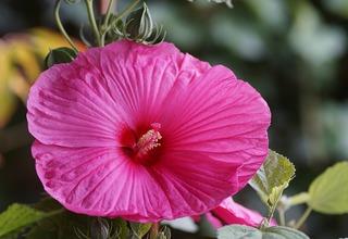 Ibišek bahenní | Hibiscus moscheutos
