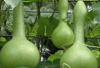 Lagenárie obecná | flaškovec obyčajný | Lagenaria siceraria