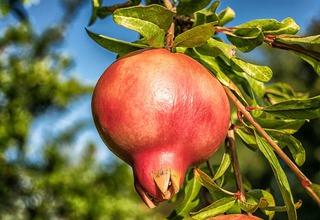Marhaník granátový | Granátové jablko,granátovník | Punica granatum