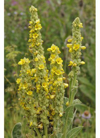 Divizna velkokvětá | Verbascum densiflorum