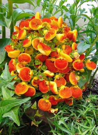 Kalcelorárie | Střevíček,Pantoflíček | Calceolaria herbeohybrida
