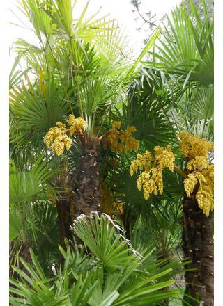 Žumara ztepilá | Chamaerops excelsa,Trachycarpus fortunei