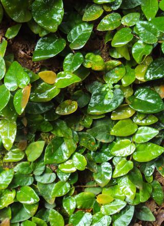 Fíkovník šplhavý,Plazivý fíkus | Ficus pumila