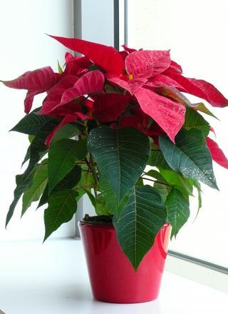 Vánoční hvězda | Euphorbia pulcherrima,Poinsettie