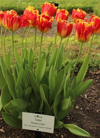 Tulipán   Tulipa