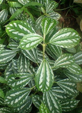 Pilea | Hliníková rostlina | Pilea