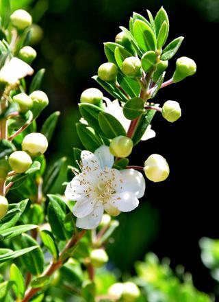 Myrta obecná | Myrtus communis