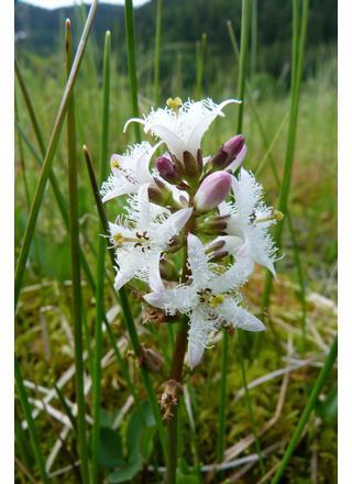 Vachta trojlistá | Menyathes trifoliata