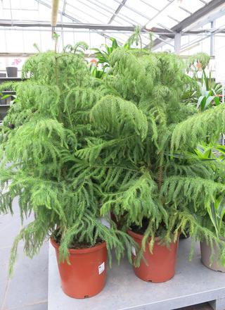 Blahočet,Pokojová jedle | Araucaria heterophylla