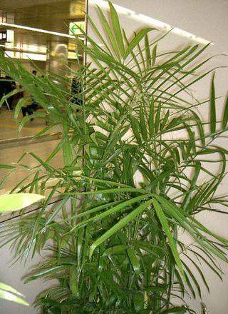 Palma horská | Chamaedorea seifrizii