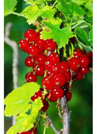 Rybíz červený | Meruzalka | Ribes rubrum