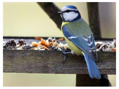 Sojka obecná (Garrulus glandarius) je pták velikosti holuba z čeledi krkavcovití.