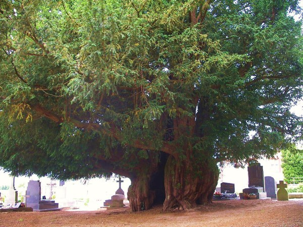 Estry Yew, Normandy, 1600 let