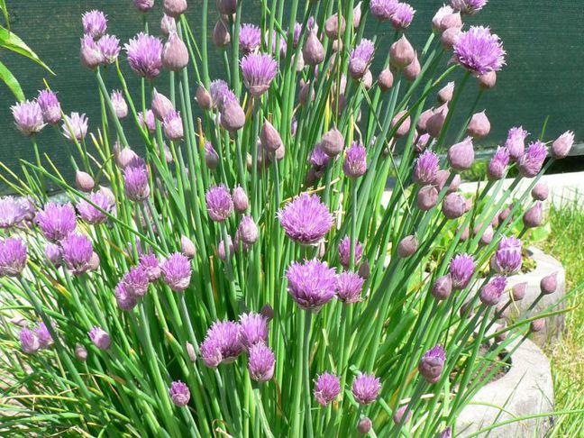 Pažitka | Šnytlík | Allium schoenoprasum