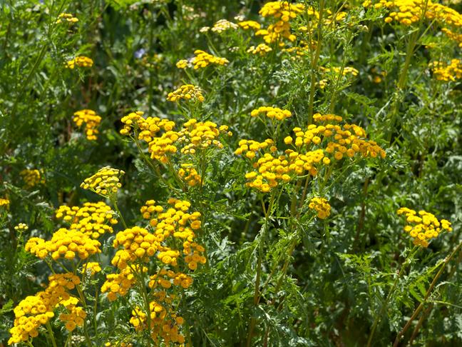 Vratič | Chrysanthemum vulgare
