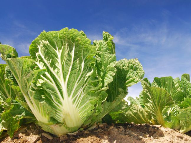 Pekingské zelí | Brassica rapa var. pekinensis
