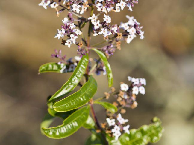 Alojsie   Aloysia triphylla