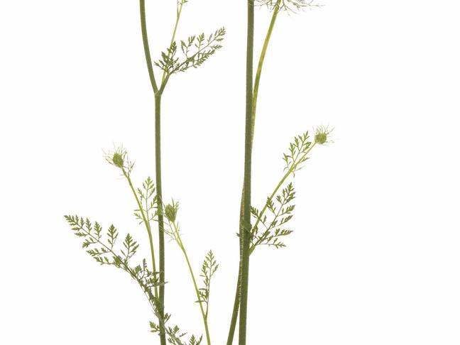 Čechřice vonná | Myrrhis odorata