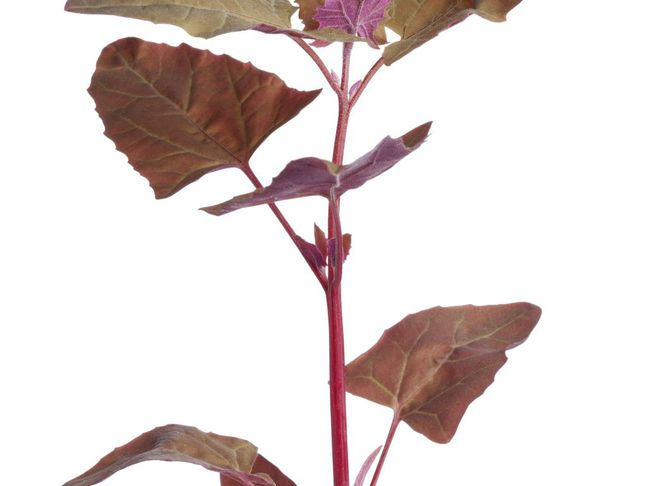 Lebeda zahradní | Atriplex hortensis