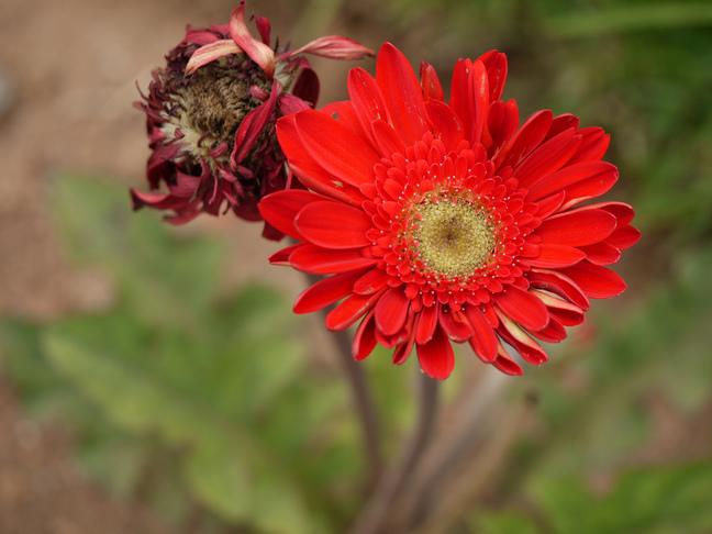 Gerbera | Gerbera jamesonii