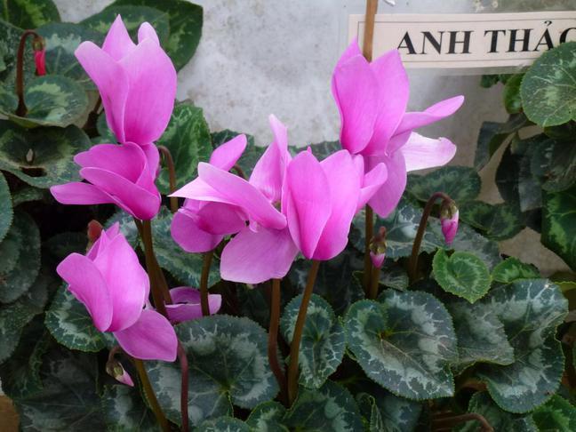 Brambořík | Cyclamen persicum