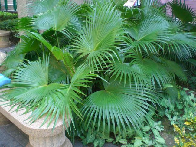 Livistonie čínská | Latania borbonica, Livistona chinensis