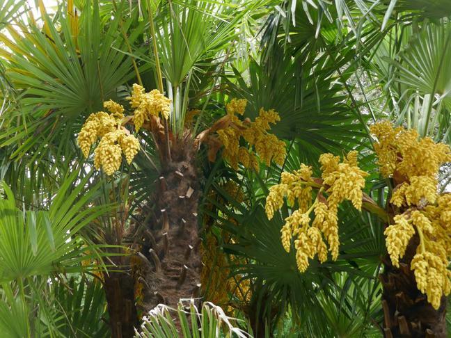 Žumara ztepilá | Chamaerops excelsa, Trachycarpus fortunei
