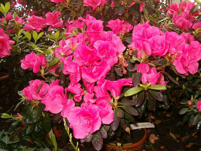 Indická azalka | Pěnišník | Rhododendron simsii