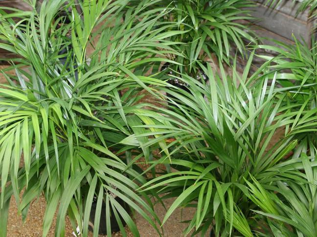Areca lutescens,Chrysalidocarpus lutescens