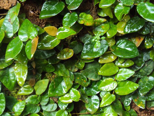 Fíkovník šplhavý, Plazivý fíkus | Ficus pumila