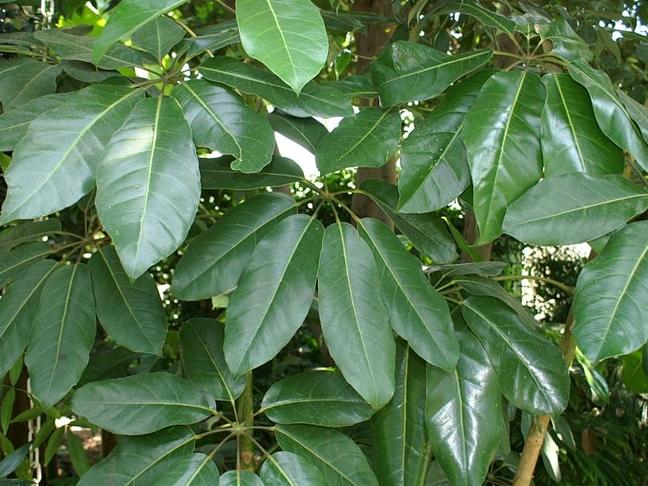 Šeflera | Schefflera actinophylla