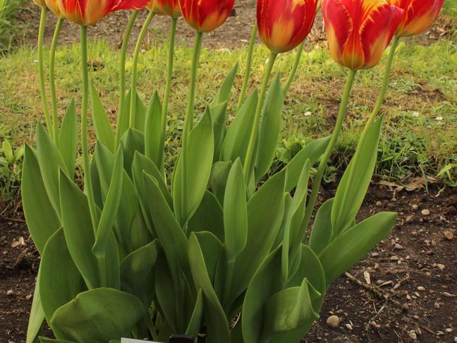 Tulipán | Tulipa