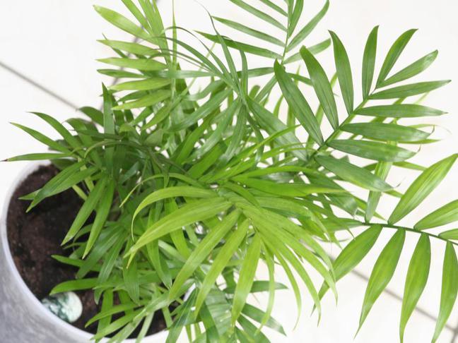 Chamaedorea sličná,Palma horská | Chamaedorea elegans,Collinia elegans,Neanthe bella