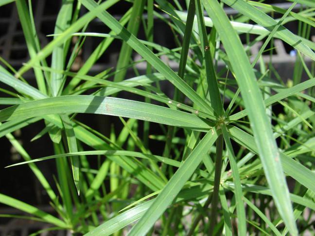 Šáchor | Cyperus,Papyrus